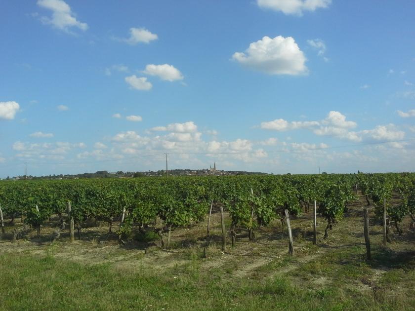 Paysage viticole et horizon bâti dominé par une Collégiale (commune du Puy-Notre-Dame en Maine-et-Loire)