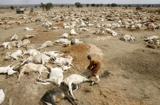 les-troupeaux-decimes-par-la-secheresse-au-kenya-source